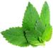 Mint leaf fight against cancer tumors